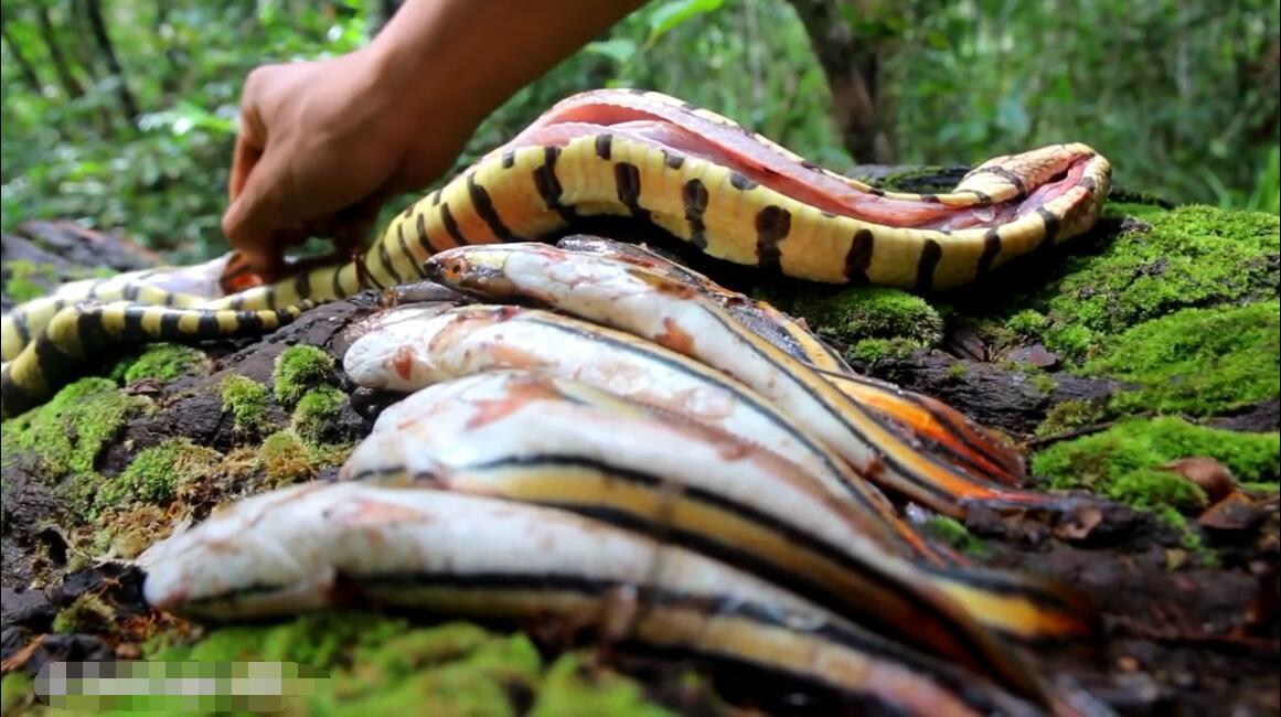 小伙儿剖蛇取鱼做美味:不敢相信一条蛇肚子里竟然这多鱼!